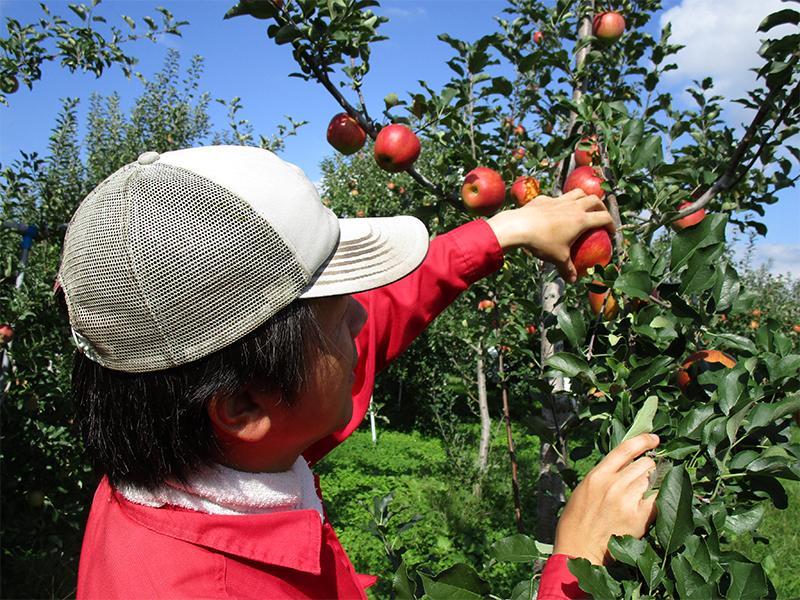 リンゴを使ったドレッシングの<ruby><rb>製造</rb><rp>(</rp><rt>せいぞう</rt><rp>)</rp></ruby>も