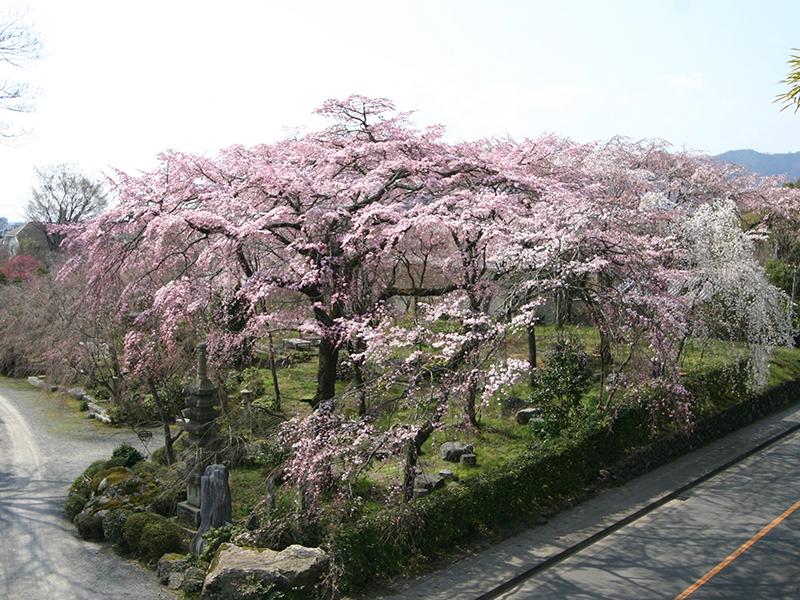 「<ruby><rb>桜</rb><rp>(</rp><rt>さくら</rt><rp>)</rp></ruby>道楽」の楽しさ