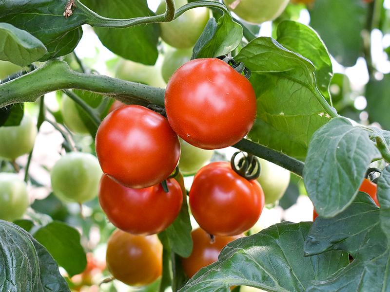 おいしい野菜を<ruby>栽<rt>さい</rt></ruby><ruby>培<rt>ばい</rt></ruby>する