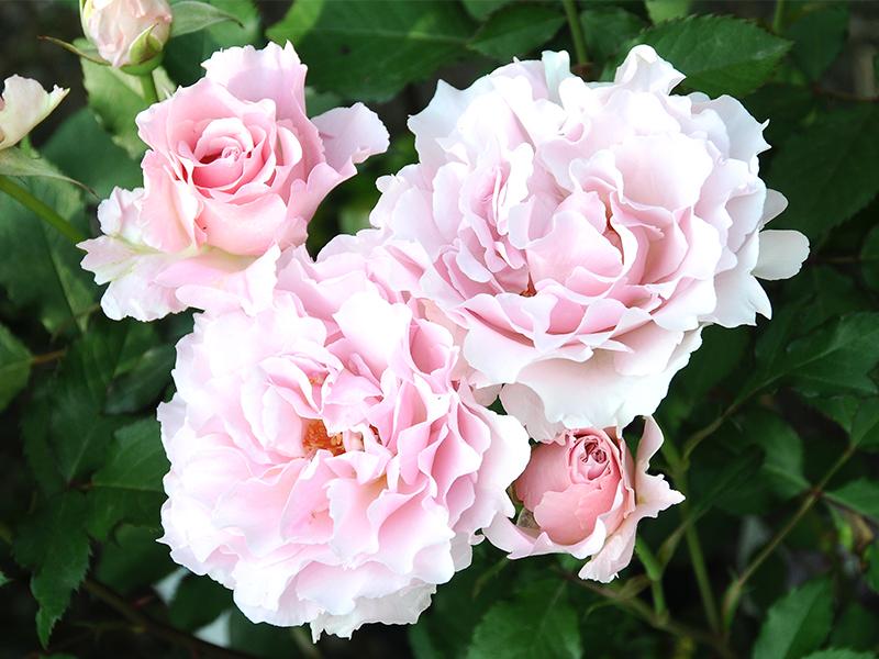 1本のバラに一目惚れして育種家に