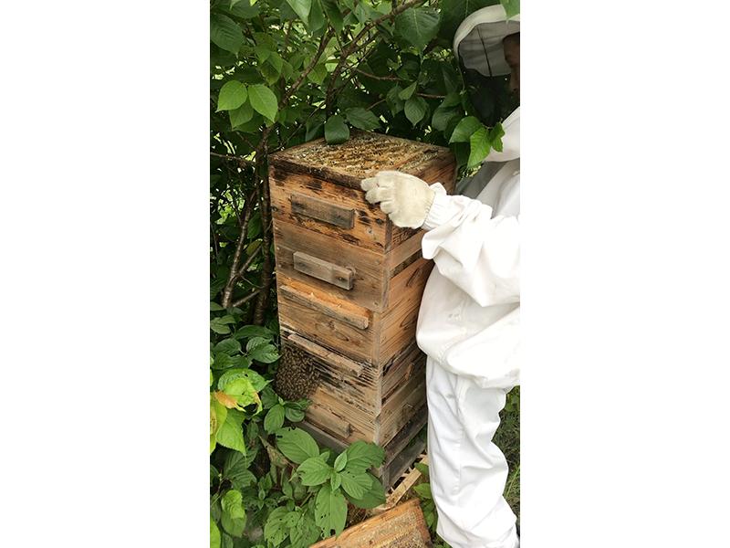ニホンミツバチと出会い,<ruby>養<rt>よう</rt></ruby><ruby>蜂<rt>ほう</rt></ruby>の道へ