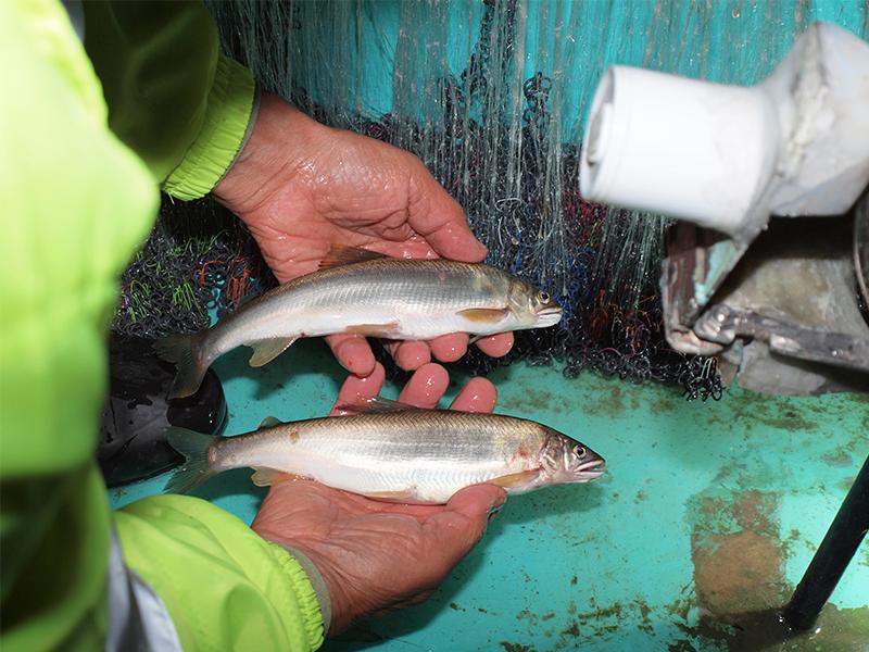 漁は魚と人の<ruby>知<rt>ち</rt></ruby><ruby>恵<rt>え</rt></ruby><ruby>比<rt>くら</rt></ruby>べ
