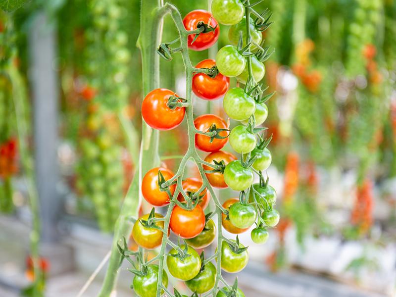 IoT<ruby>技<rt>ぎ</rt></ruby><ruby>術<rt>じゅつ</rt></ruby>を活用した「スマート農業」で,おいしいトマトを<ruby>効<rt>こう</rt></ruby><ruby>率<rt>りつ</rt></ruby><ruby>的<rt>てき</rt></ruby>に作る